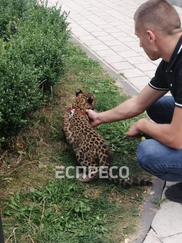 Леопард в Франківську