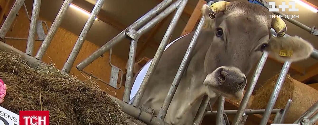 800-килограммовая победительница: в Германии провели конкурс красоты среди коров