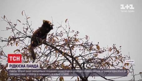 В китайской провинции Сычуань сняли на видео редкую красную панду