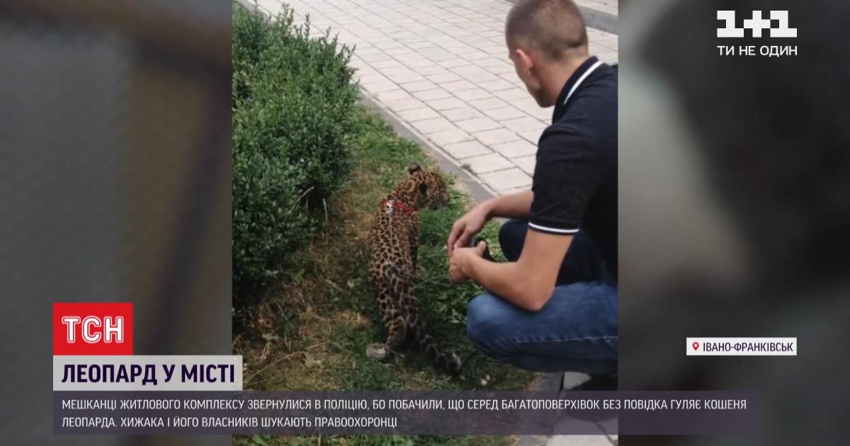В Ивано-Франковске среди многоэтажек выгуливали леопарда: полиция разыскивает владельцев, чтобы конфисковать животное
