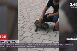Жителів Івано-Франківська налякав леопард