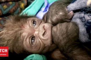 В Бостонском зоопарке горилле провели кесарево сечение - роды прошли успешно