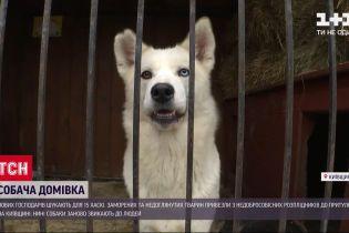 15 маленьких хаски ждут новых владельцев в приюте в Киевской области