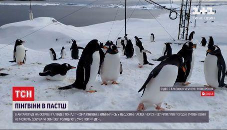 В Антарктиді пінгвіни опинилися в льодовій пастці