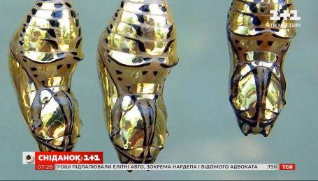 Навіщо лялечці метелика Тіторія Гармонія золотий кокон