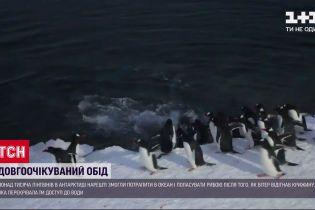 Пінгвіни, які потрапили у льодову пастку в Антарктиді, дочекалися на їжу