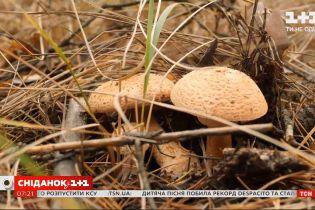 """Где прячутся грибы в лесу и как быстро найти грибные места — """"Сніданок. Грибы"""""""