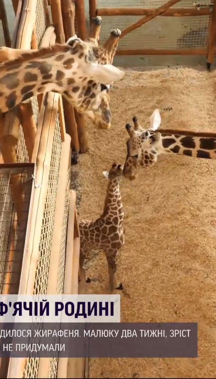 Дональд чи Карантин – у приватному зоопарку під Києвом вирішують, як назвати жирафеня