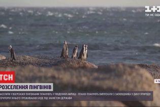 Побережье Южно-Африканской республики заселят пингвинами