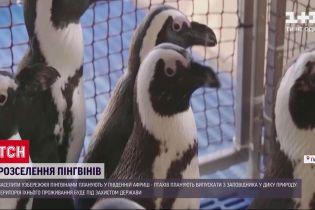На побережье Южно-Африканской республики появятся новые колонии пингвинов