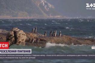 В ЮАР планируют ежегодно выпускать в дикую природу до полсотни молодых пингвинов