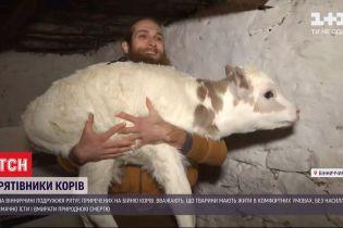 В Винницкой области супруги спасает обреченных на убой коров