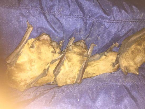 """""""Несколько часов шла борьба за жизнь"""": в Запорожье зоозащитники спасли от смерти краснокнижных летучих мышей"""