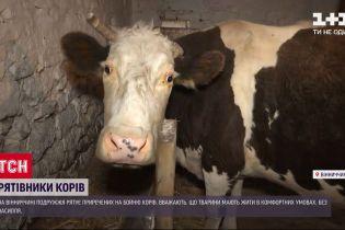 Подружня пара у Вінницькій області рятує корів від бойні