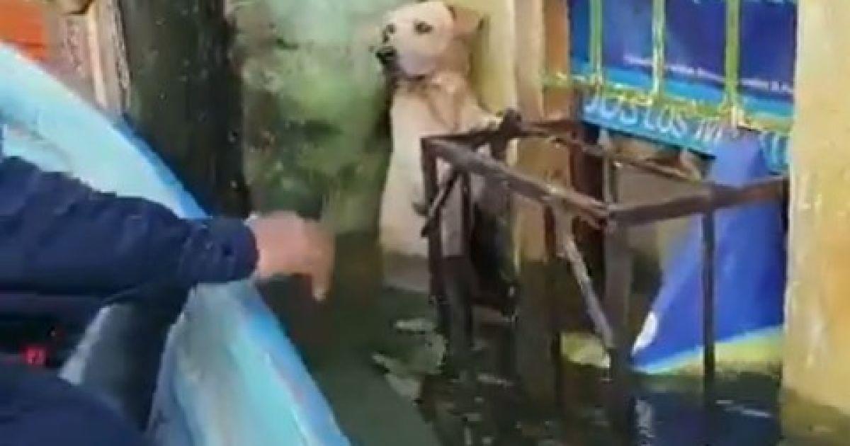 У Мексиці моряки героїчно врятували лабрадора під час повені: собака тримався з останніх сил, аби не потонути