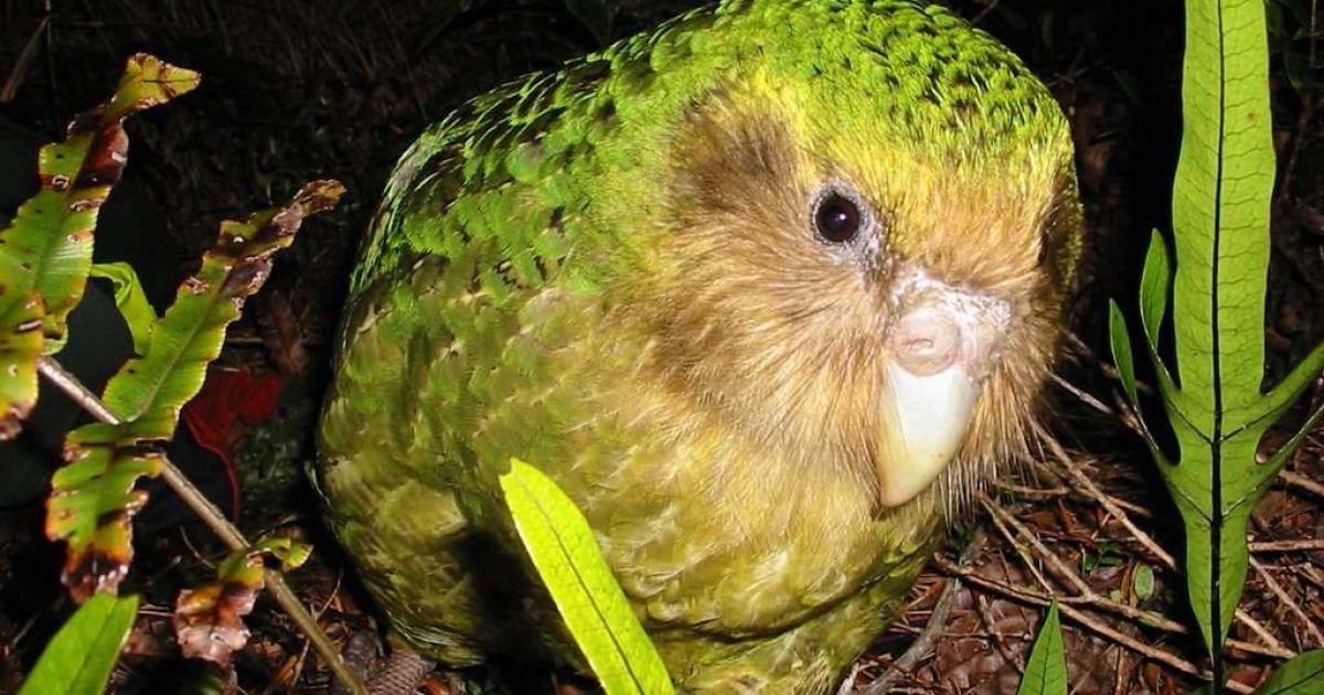 """Переможцем конкурсу """"Птах року"""" в Новій Зеландії став вид папуг, які єдині у світі не вміють літати"""