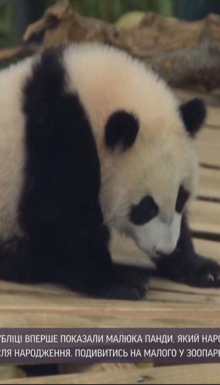 В зоопарке Нидерландов показали детеныша панды, который родился еще в мае