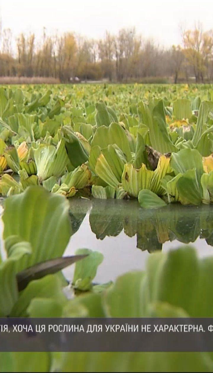 Экзотическое растение заполонило водоемы Киевской области
