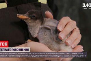 В зоопарке Сиднея на свет появились семь пингвиненков
