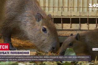Крихітні капібари: у екопарку Харкова показали життя маленьких гризунів