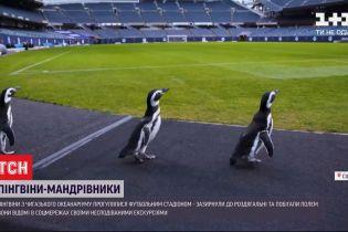 Пінгвіни з чиказького океанаріуму прогулялися футбольним стадіоном