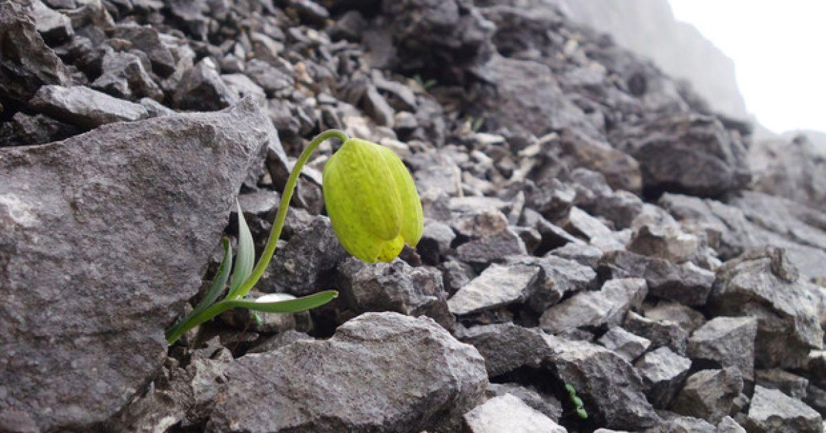 Прячется от людей: в Китае цветок научился маскироваться под цвет скал, на которых растет