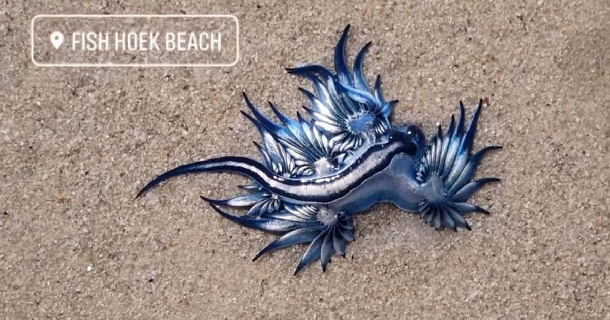"""""""Самый красивый морской убийца"""": на берег Южной Африки массово выбросились причудливые ядовитые моллюски"""