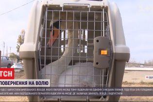 В Одессе на волю отпустили лебедя, которого накануне нашли проголодавшимся и обессиленным