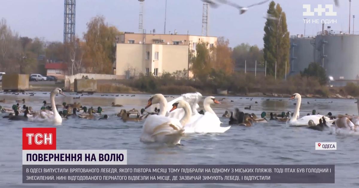 В Одессе откормили обессиленного лебедя и отпустили на волю: как это было