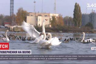 Врятованого від голоду і виснаження лебедя випустили на волю під Одесою