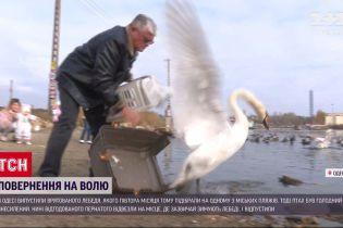 В Одессе на волю выпустили лебедя, которого спасли от голода полтора месяца назад