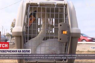 Повернення на волю: в Одесі відпустили врятованого лебедя