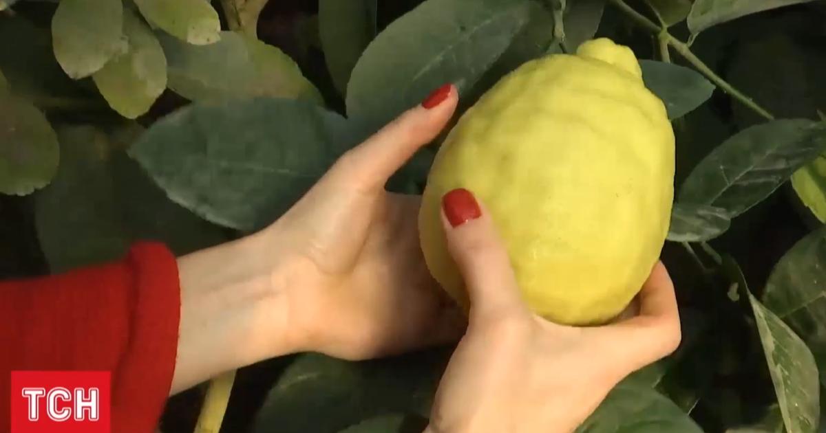 Плодоносять до 7 разів на рік, сягають пів кілограма: як в Україні вирощують лимони та лайми
