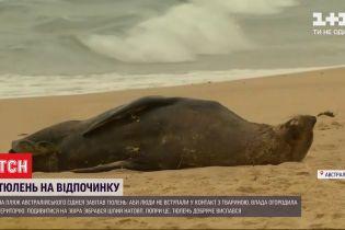 Тюлень-отдыхающий: необычный посетитель стал причиной ажиотажа на пляже Сиднея