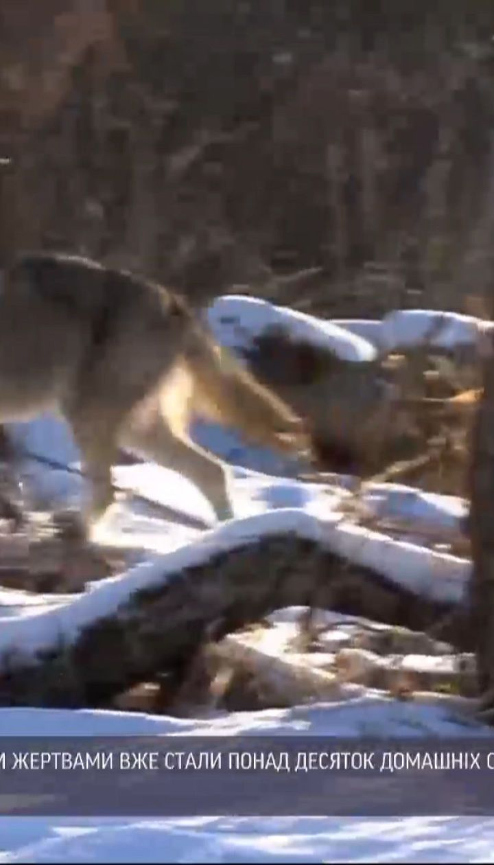Вовки на Прикарпатті: в селищі Ворохта жертвами хижаків стали понад десяток домашніх собак
