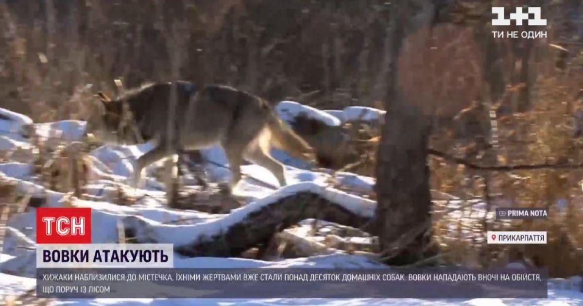 Ворохту атакують голодні вовки: що радять місцевим мешканцям