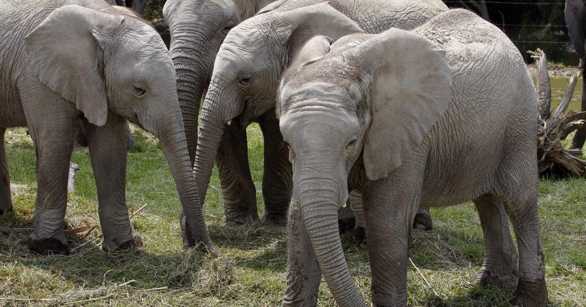 В Іспанії слон вдарив хоботом доглядальника: чоловік помер
