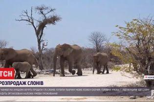 Слони з молотка: у Намібії на аукціоні хочуть продати 170 тварин