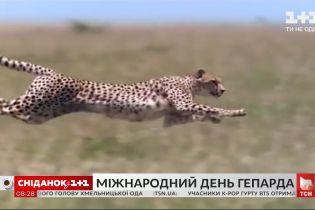 Найшвидша тварина на планеті: цікаві факти про гепардів