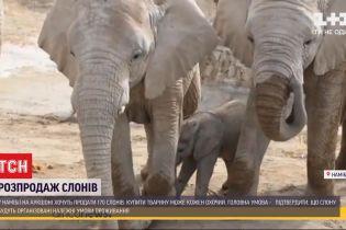 Через чрезмерный рост популяции слонов в Намибии устроили распродажу животных