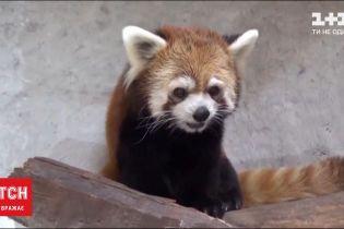 Дебют у зоопарку: в Чилі червоні панди стали улюбленцями публіки
