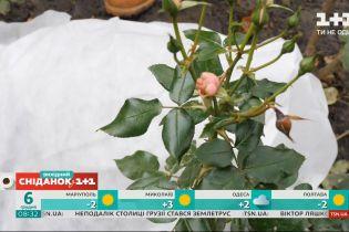 """Як найкраще підготувати садові троянди до зимових холодів - """"Сніданок на дачі"""""""