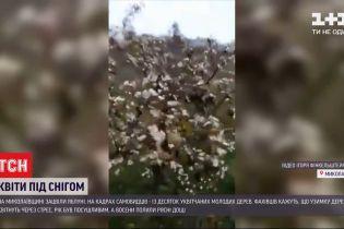 В Николаевской области зацвели яблони