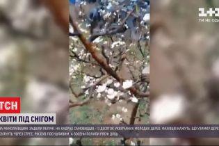 Цветы под снегом: в Николаевской области зацвели яблони
