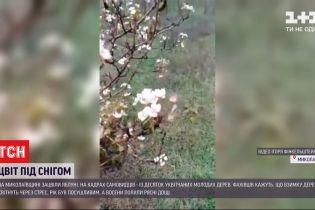 Сад посеред грудня: у Миколаївській області яблуні вкрилися цвітом