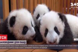 В китайском заповеднике за последние 5 лет родилось 32 панды