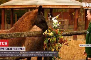 Пушистые непослушники: ламы с лондонского зоопарка съели рождественские венки