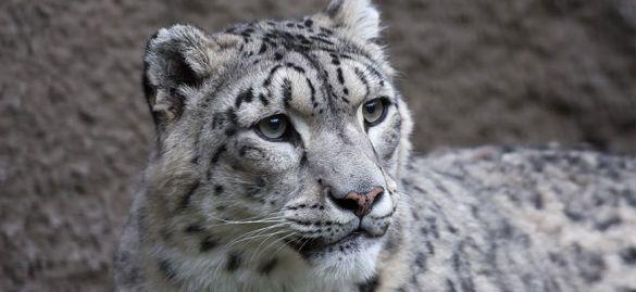 сніжний барс фото зоопарку США