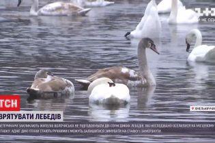 У Хмельницькій області лебеді можуть не відлетіти у вирій через містян, які їх підгодовують