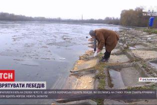 Щоб урятувати, треба не рятувати: лебеді у Волочиську можуть замерзнути через підгодовування